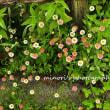 春のバラまつり 5/12撮影 ターシャの庭