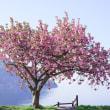 奥琵琶湖、もうひとつの桜シーズン