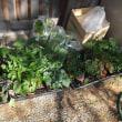 夏野菜の植え付け