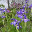 アヤメ科の花