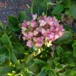 ゴーヤと季節外れのアジサイの花