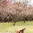 梅が咲く公園