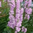 季節の花「花虎ノ尾 (はなとらのお)」