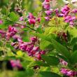 庭で季節を先取る花 立葵と萩