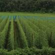ホップ畑の風景