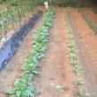 野菜が育っています(^。^)