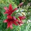 ズッキーニの花と真紅のゆり