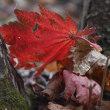 昨日キノコ採りに行き、クリタケがとれました、おまけで紅葉