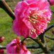 春一番に咲き出す.梅・マンサクの花。             18・1.18日