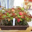 「おはようの花」 ハマボウ