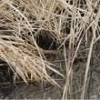 手賀沼 沼辺に現れたヒクイナ(緋水鶏・緋鶏秧)