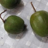 サルナシ と キウイフルーツ