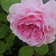 薔薇が咲きました~ その3