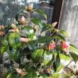 暖房を工夫、冬の節電を 記録的寒波で増える電気代/赤花万作と椿「尾張侘助」開花。