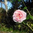 冬に咲きました。 バラのワイルドイブ