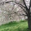 4/24(火)  八重桜🤗