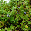 イシミカワ 青藍色の果実