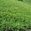 秋田駒ヶ岳登山に参加し8月見たコマクサの花を再度出会えた