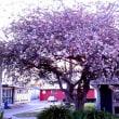 足立英雄会長がニュージランドへ送った日本の桜