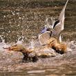 今日の野鳥  ウミアイサ ・ シロハラ ・ オシドリ ・ マガモ雌彼氏の奪い合い?