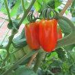 フレッシュイタリアトマトで一品