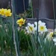 水仙とパンジーが咲いてるよ