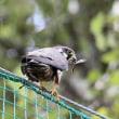 今日の鳥 チゴハヤブサ 幼鳥2羽 巣立ちした雛が2羽一緒に居ました。