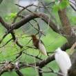 見えにくい枝にとまった、アカガシラサギ。