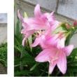 ≪インドハマユウ・印度浜木綿≫ ピンク色