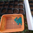 落花生と八つ頭の収穫