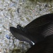 天拝山歴史自然公園 アゲハチョウ