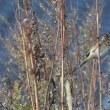 草の茎にしがみついていたコホオアカ。 島の鳥④*