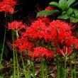 真っ赤な彼岸花