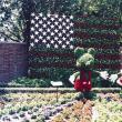 星条旗のトピアリー(立体花壇)