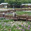 花しょうぶ咲き誇る山田池公園(*'▽')🌸