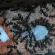 2090 ケブカクロオオアリ 採餌状況