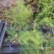 アスパラガスの苗が大きくなってきました