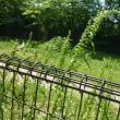 ギシギシ - 野川公園自然観察園