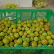 梅の実の収穫でグッタリ