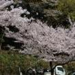 下関・深坂自然の森の桜達
