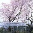 【練馬区ニュース】東大泉・牧野記念庭園のセンダイヤザクラ見頃 牧野博士が命名 /東京