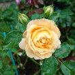 朝に、ドルチェビータ(二番花)が咲いています