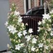 キキョウ 桔梗 白花