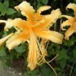 花のリレー ショウキズイセン