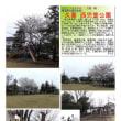 花巡り 「桜-その482」 久喜 西児童公園