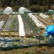 サトイモの畝などの準備を始めました