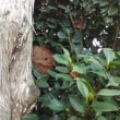 スズメバチの巣