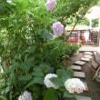 我家の紫陽花