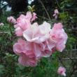 まとめて咲いてます。バラのローゼンドルフ ジュバーリー スポック