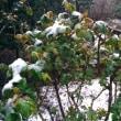 雪の中の桜鑑賞 20180321